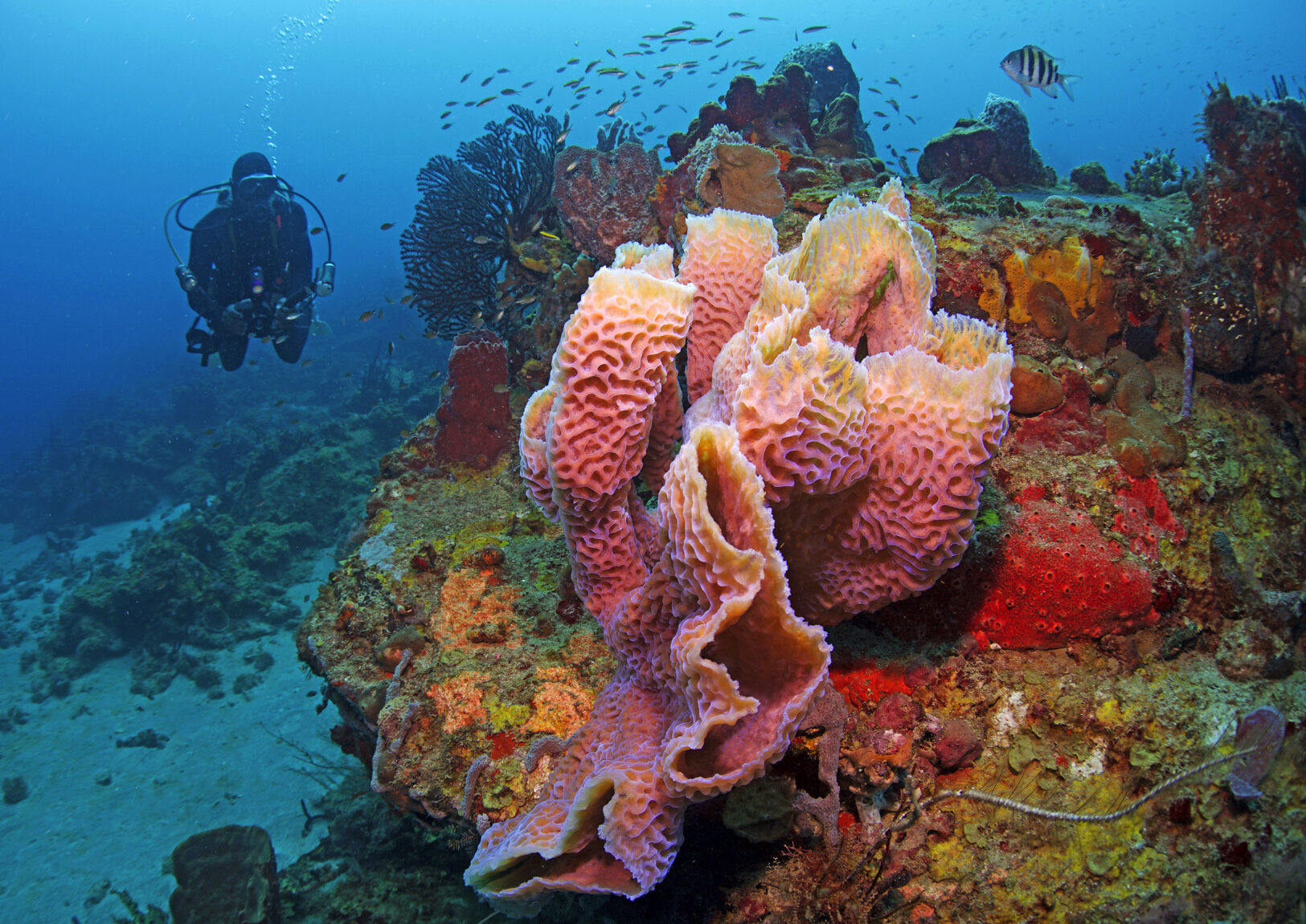 Colorful coral with a scuba diver enjoying the scenery