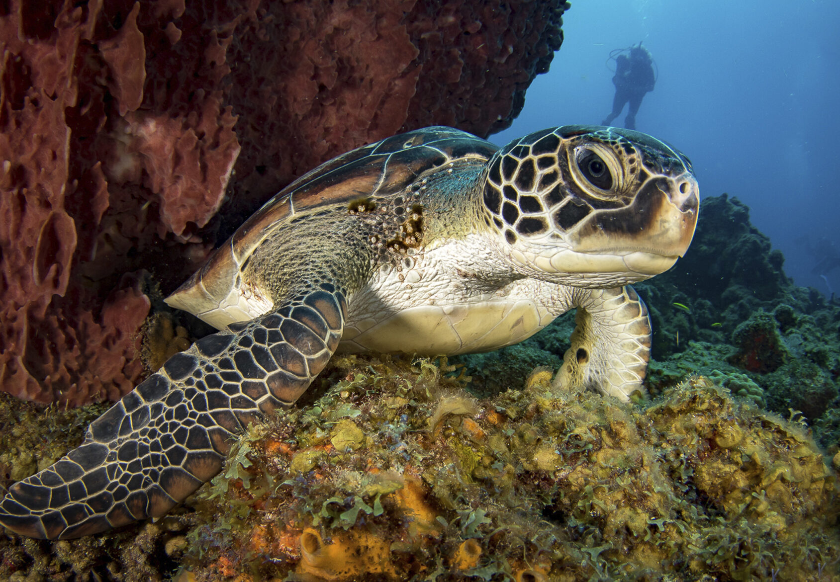 Hawksbill sea turtle on a coral reef with a scuba diver watching from afar