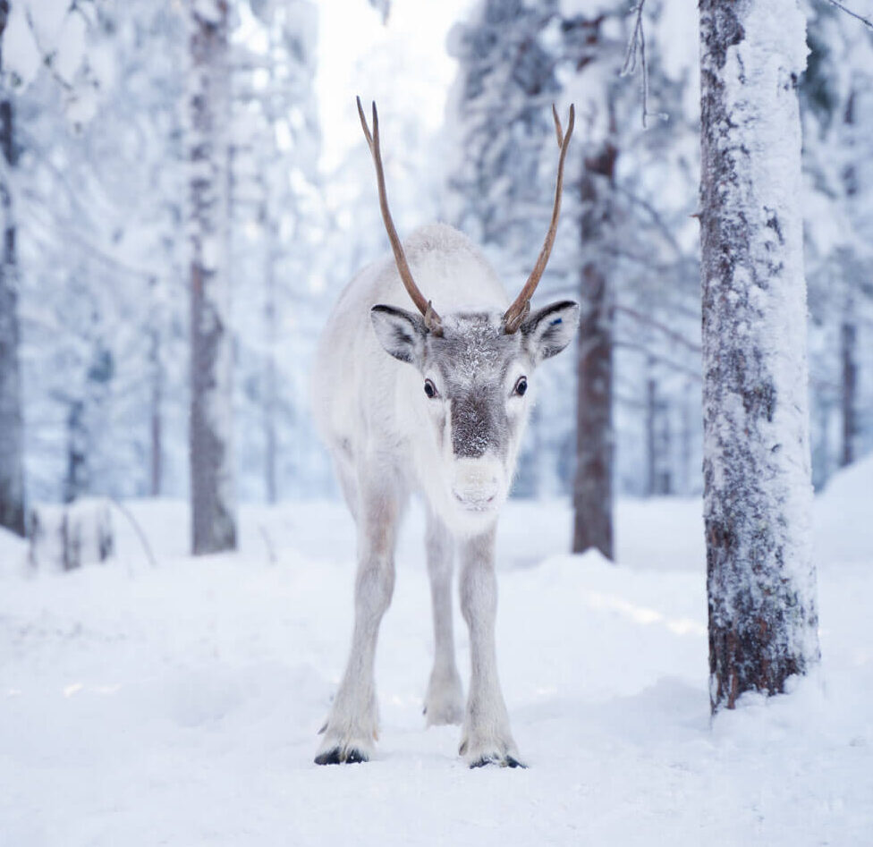 Reindeer in the snowy forest by Octola, Lapland